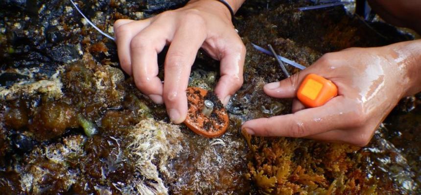 traspianto dei dischetti con le plantule in mare
