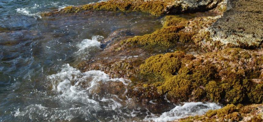 Foresta marina di Cystoseira