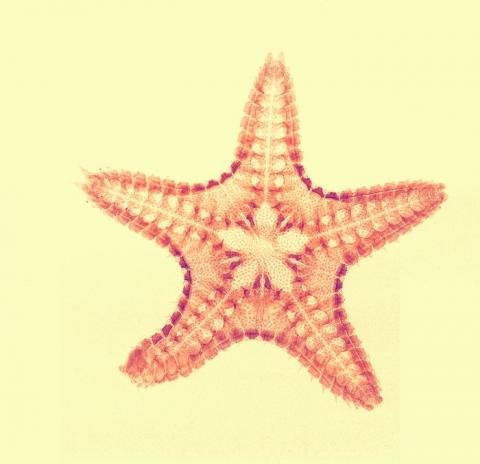 Nelle stelle marine le spie dei cambiamenti climatici-Stella marina Ctenodiscus crispatus img-